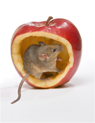 Jak pozbyć się myszy ?